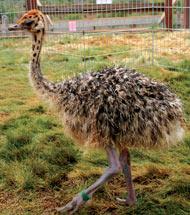 Ostrich Land Baby