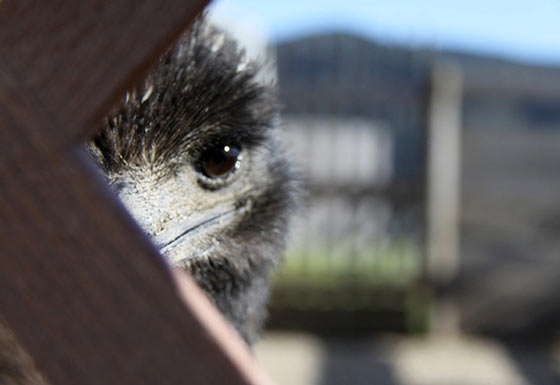 baby-emu-peeking