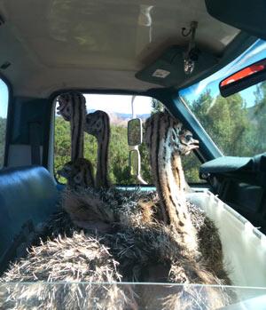 baby-ostriches-in-truck