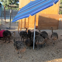 Baby Ostriches at OstrichLand