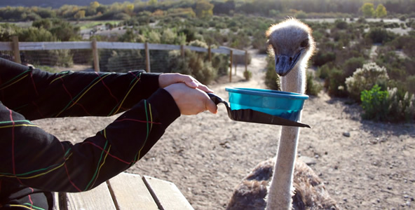 Feeding Ostriches at OstrichLand