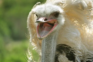 ostrich-home-page-image