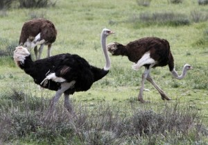 ostrichland-ostriches-in-field